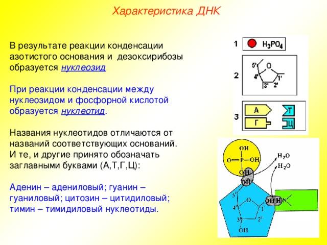 нуклеиновые кислоты 10 класс биология