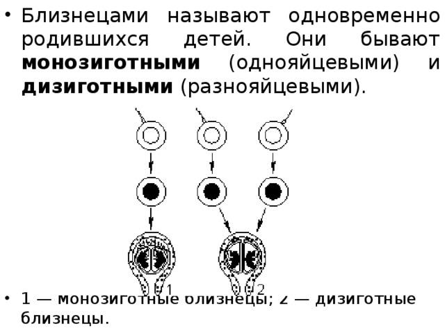 Близнецами называют одновременно родившихся детей. Они бывают монозиготными (однояйцевыми) и дизиготными (разнояйцевыми). 1— монозиготные близнецы; 2— дизиготные близнецы.
