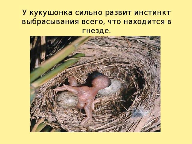 У кукушонка сильно развит инстинкт выбрасывания всего, что находится в гнезде.