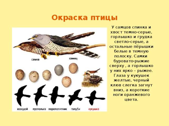 Окраска птицы У самцов спинка и хвост темно-серые, горлышко и грудка светло-серые, а остальные пёрышки белые в темную полоску. Самки буровато-рыжие сверху , а горлышко у них ярко – рыжее. Глаза у кукушек желтые, черный клюв слегка загнут вниз, а короткие ноги оранжевого цвета.