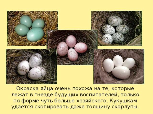 Окраска яйца очень похожа на те, которые лежат в гнезде будущих воспитателей, только по форме чуть больше хозяйского. Кукушкам удается скопировать даже толщину скорлупы.