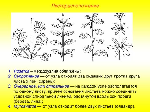 Листорасположение у растений в картинках может
