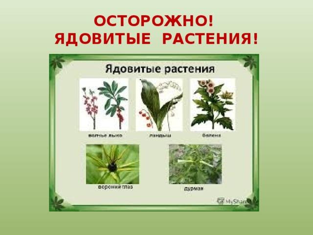 ядовитые растения картинки с описанием и схемами