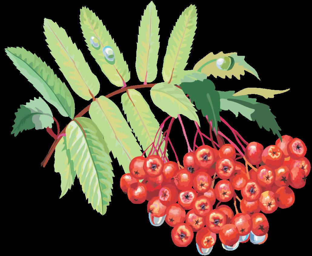 Картинка ветки рябины с ягодами, картинки старых мужиков