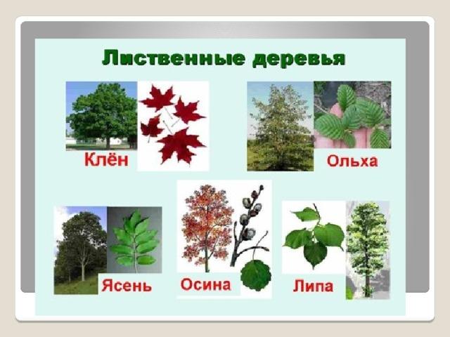 какие деревья называются лиственными а какие хвойными