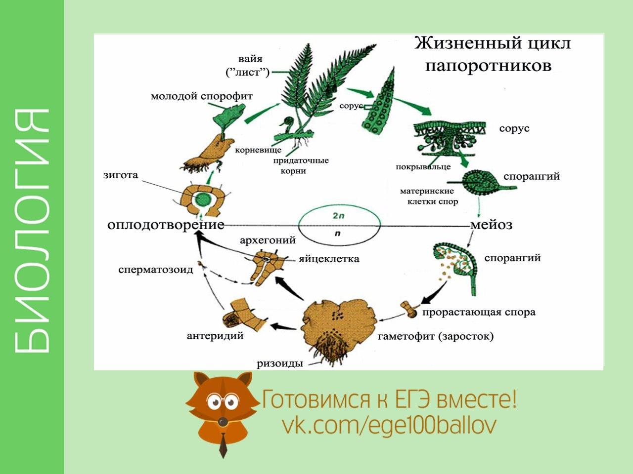 цикл развития папоротника схема с набором хромосом