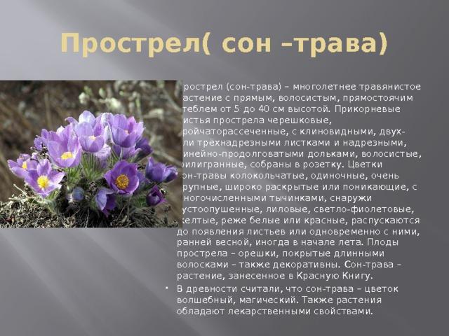 положению сон трава фото и описание где растет самым