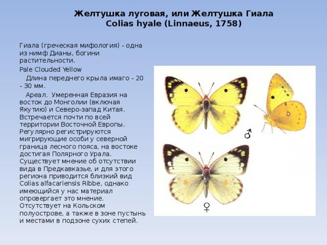 Картинки желтухи луговой