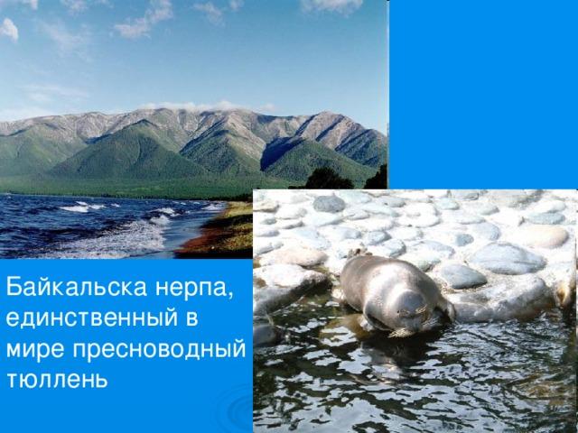 Байкальска нерпа, единственный в мире пресноводный тюллень