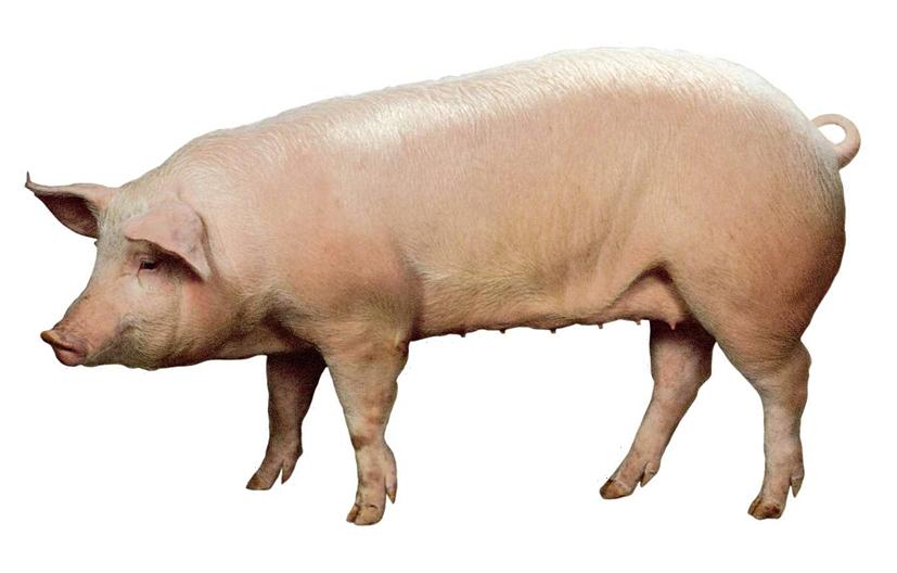Картинка свинья для детей детского сада