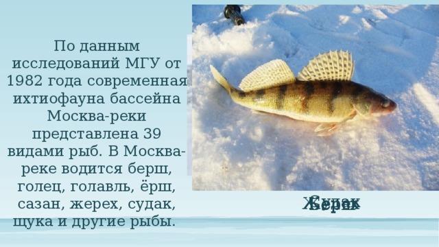 По данным исследований МГУ от 1982 года современная ихтиофауна бассейна Москва-реки представлена 39 видами рыб. В Москва-реке водится берш, голец, голавль, ёрш, сазан, жерех, судак, щука и другие рыбы. Судак Жерех Берш