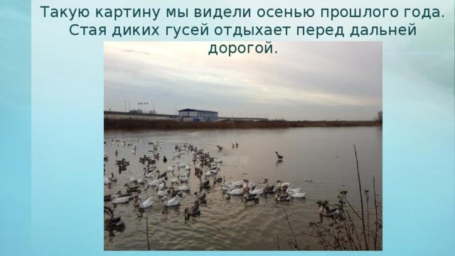 Такую картину мы видели осенью прошлого года. Стая диких гусей отдыхает перед дальней дорогой.