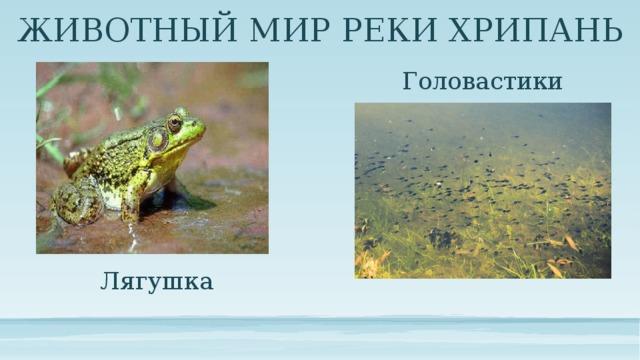 ЖИВОТНЫЙ МИР РЕКИ ХРИПАНЬ Головастики Лягушка