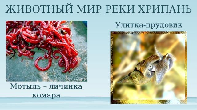 ЖИВОТНЫЙ МИР РЕКИ ХРИПАНЬ Улитка-прудовик Мотыль – личинка комара