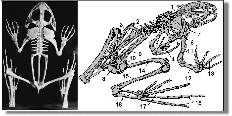 старший строение лягушки картинки скелет без труда
