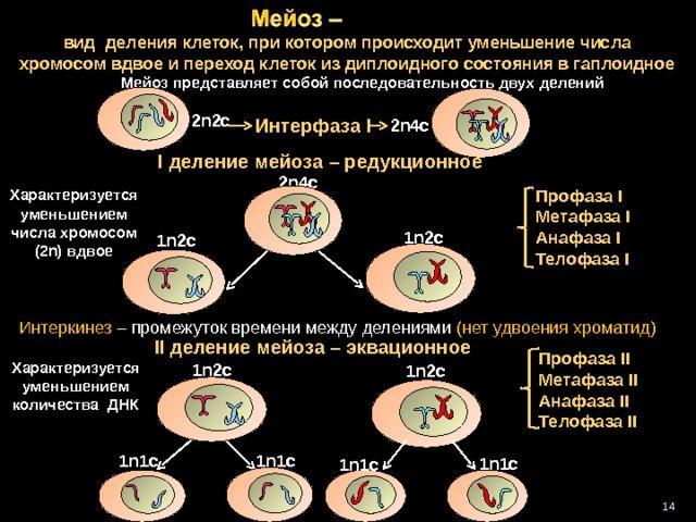 вид деления клеток, при котором происходит уменьшение числа хромосом вдвое и переход клеток из диплоидного состояния в гаплоидное  Мейоз представляет собой последовательность двух делений 2 n2c Интерфаза I 2n4c I деление мейоза – редукционное 2n4c Профаза I  Метафаза I Анафаза I  Телофаза I Характеризуется уменьшением числа хромосом (2 n) вдвое 1n2c  1n2c Интеркинез – промежуток времени между делениями (нет удвоения хроматид)  II деление мейоза – эквационное Профаза II  Метафаза II Анафаза II  Телофаза II  Характеризуется уменьшением количества ДНК 1n2c 1n2c 1n1c 1n1c  1n1c 1n1c 14