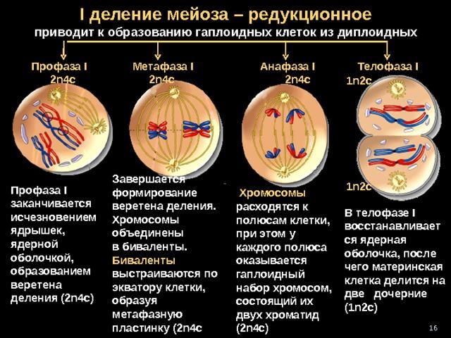 I деление мейоза – редукционное  приводит к образованию гаплоидных клеток из диплоидных Телофаза I Профаза I  2 n4c  Анафаза I  2n4c  Метафаза I  2n4c  1n2c + 1 n2c 1n2c Завершается формирование веретена деления. Хромосомы объединены в биваленты.  Биваленты выстраиваются по экватору клетки, образуя метафазную пластинку (2n4c  1n2c  Профаза I заканчивается и счезновением ядрышек, ядерной оболочкой, образованием веретена деления (2n4c)   Хромосомы расходятся к полюсам клетки, при этом у каждого полюса оказывается гаплоидный набор хромосом, состоящий их двух хроматид ( 2n4c) В телофазе I восстанавливается ядерная оболочка, после чего материнская клетка делится на две дочерние (1n2c) 16