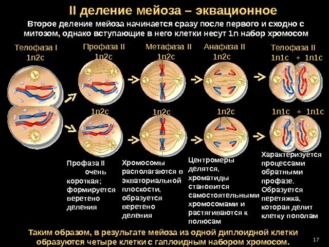 II деление мейоза – эквационное Второе деление мейоза начинается сразу после первого и сходно с митозом, однако вступающие в него клетки несут 1 n набор хромосом Профаза II  1n2c  Метафаза II  1n2c Анафаза II  1n2c  Телофаза I  1n2c  Телофаза II  1n1c + 1n1c 1n2c 1n1c + 1n1c 1n2c 1n2c  Характеризуется процессами обратными профазе. Образуется перетяжка, которая делит клетку пополам Центромеры делятся, хроматиды становится самостоятельными хромосомами и растягиваются к полюсам Хромосомы располагаются в экваториальной плоскости, образуется веретено деления Профаза II очень короткая ; формируется веретено деления Таким образом, в результате мейоза из одной диплоидной клетки образуются четыре клетки с гаплоидным набором хромосом. 16 16