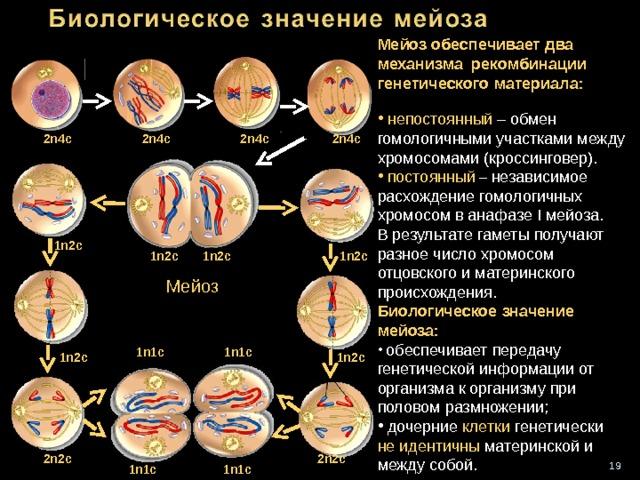 Мейоз обеспечивает два механизма рекомбинации генетического материала :    непостоянный  – обмен гомологичными участками между хромосомами (кроссинговер).  постоянный – независимое расхождение гомологичных хромосом в анафазе I мейоза. В результате гаметы получают разное число хромосом отцовского и материнского происхождения. Биологическое значение мейоза :   обеспечивает передачу генетической информации от организма к организму при половом размножении;  дочерние клетки генетически не идентичны материнской и между собой. 2 n4c 2n4c 2n4c 2n4c 1n2c 1n2c 1n2c 1n2c Мейоз 1n1c 1n1c 1n2c 1n2c 2n2c 2n2c 16 1n1c 1n1c