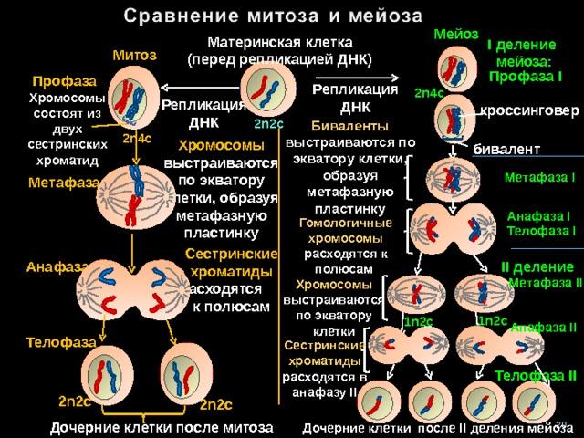 Мейоз Материнская клетка (перед репликацией ДНК) I деление мейоза: Митоз Профаза I Профаза Репликация ДНК 2n4c Хромосомы состоят из двух сестринских хроматид Репликация ДНК кроссинговер 2n 2 c Биваленты выстраиваются по экватору клетки, образуя метафазную пластинку 2n4c Хромосомы выстраиваются по экватору клетки, образуя метафазную пластинку бивалент Метафаза I  Метафаза Анафаза I Гомологичные хромосомы расходятся к полюсам Телофаза I Сестринские хроматиды расходятся  к полюсам Анафаза II деление  Метафаза II Хромосомы выстраиваются по экватору клетки 1 n 2с 1 n 2с Анафаза II Телофаза Сестринские хроматиды расходятся в анафазу II Телофаза II 1 n 1 n 1 n 1 n 2n 2 c 2n 2 c 20 Дочерние клетки после митоза Дочерние клетки после II деления мейоза