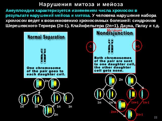Анеуплоидия характеризуется изменением числа хромосом в результате нарушений мейоза и митоза. У человека нарушение набора хромосом ведет к возникновению хромосомных болезней: синдромов Шерешевского-Тернера (2п-1), Клайнфельтера (2п+1), Дауна, Патау и т.д.  Мутация Норма  -1 +1 2n 2n 1n +1 1n -1 1n  1n  1n  1n  1n 1n 2 n+1 2n 2n-1 22