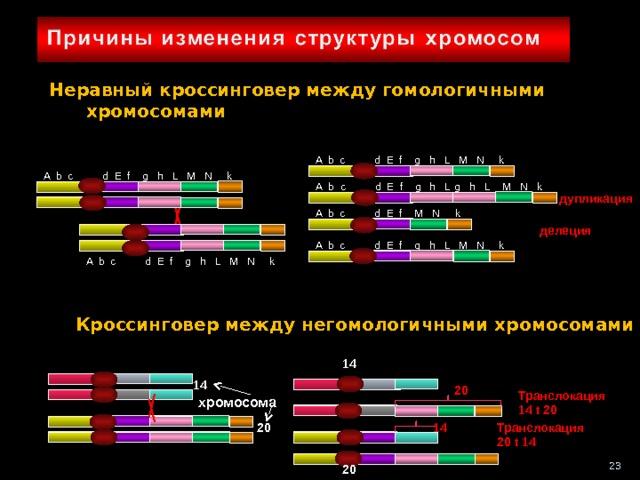Неравный кроссинговер между гомологичными хромосомами A b c d E f g h L M N k A b c d E f g h L M N k M N k g h L A b c d E f g h L  дупликация A b c d E f M N k делеция A b c d E f g h L M N k A b c d E f g h L M N k Кроссинговер между негомологичными хромосомами 14 14 20 Транслокация 14 t 20  хромосома 14 Транслокация 20 t 14 20 23 20 23