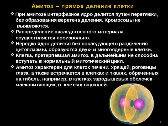При амитозе интерфазное ядро делится путем перетяжки,  без образования веретена деления. Хромосомы не  выявляются.  Распределение наследственного материала  осуществляется произвольно.  Нередко ядро делится без последующего разделения  цитоплазмы, образуются двух- и многоядерные клетки.  Клетка, претерпевшая амитоз, в дальнейшим не способна  вступать в нормальный митотический цикл.  Амитоз характерен для клеток печени, хрящей, роговицы  глаза, а также встречается в клетках и тканях, обреченных  на гибель, например, в клетках зародышевых оболочек  млекопитающих, в клетках опухолей. 3