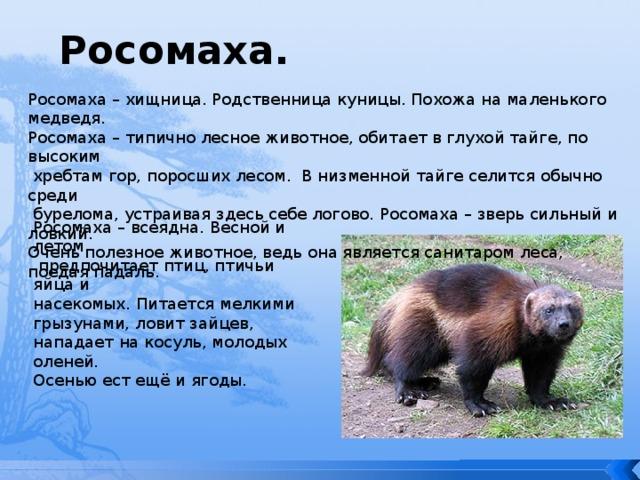 росомаха животное фото и описание