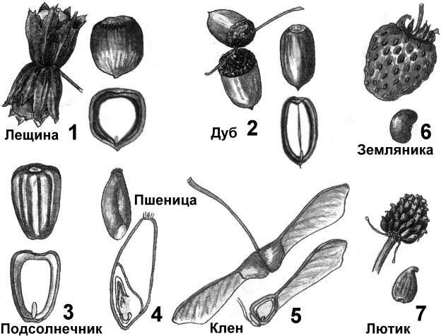 Картинки по строению семян