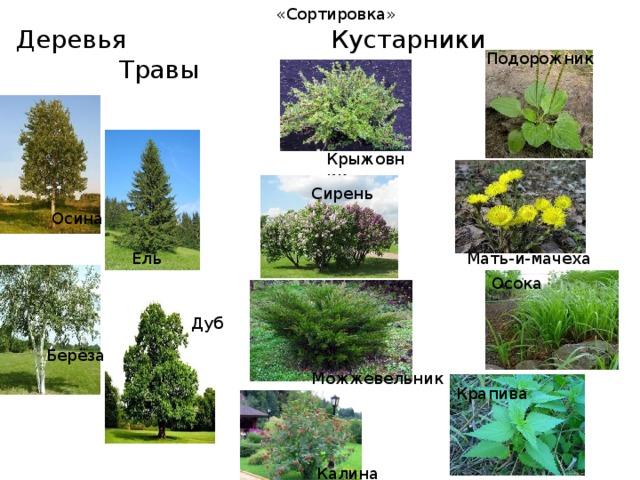 картинки по теме кустарники и их названия рамок нет, некоторых