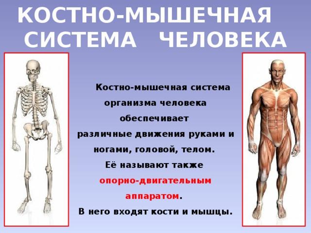 Кости и мышцы необходимо укреплять доклад 9172