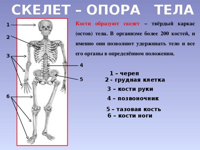 Доклад на тему скелет опора тела 3487