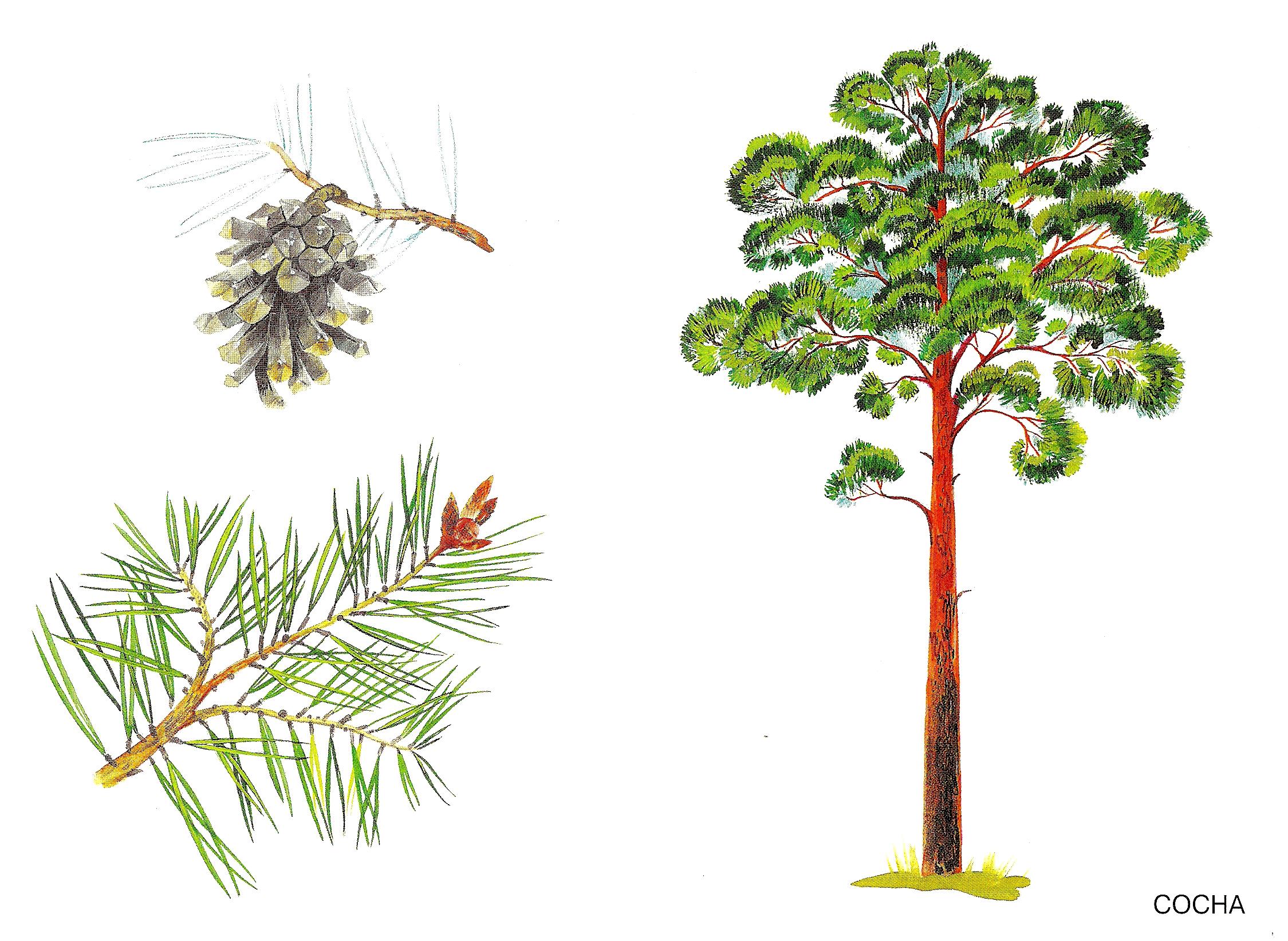 Картинки с хвойными деревьями для детей, новый год
