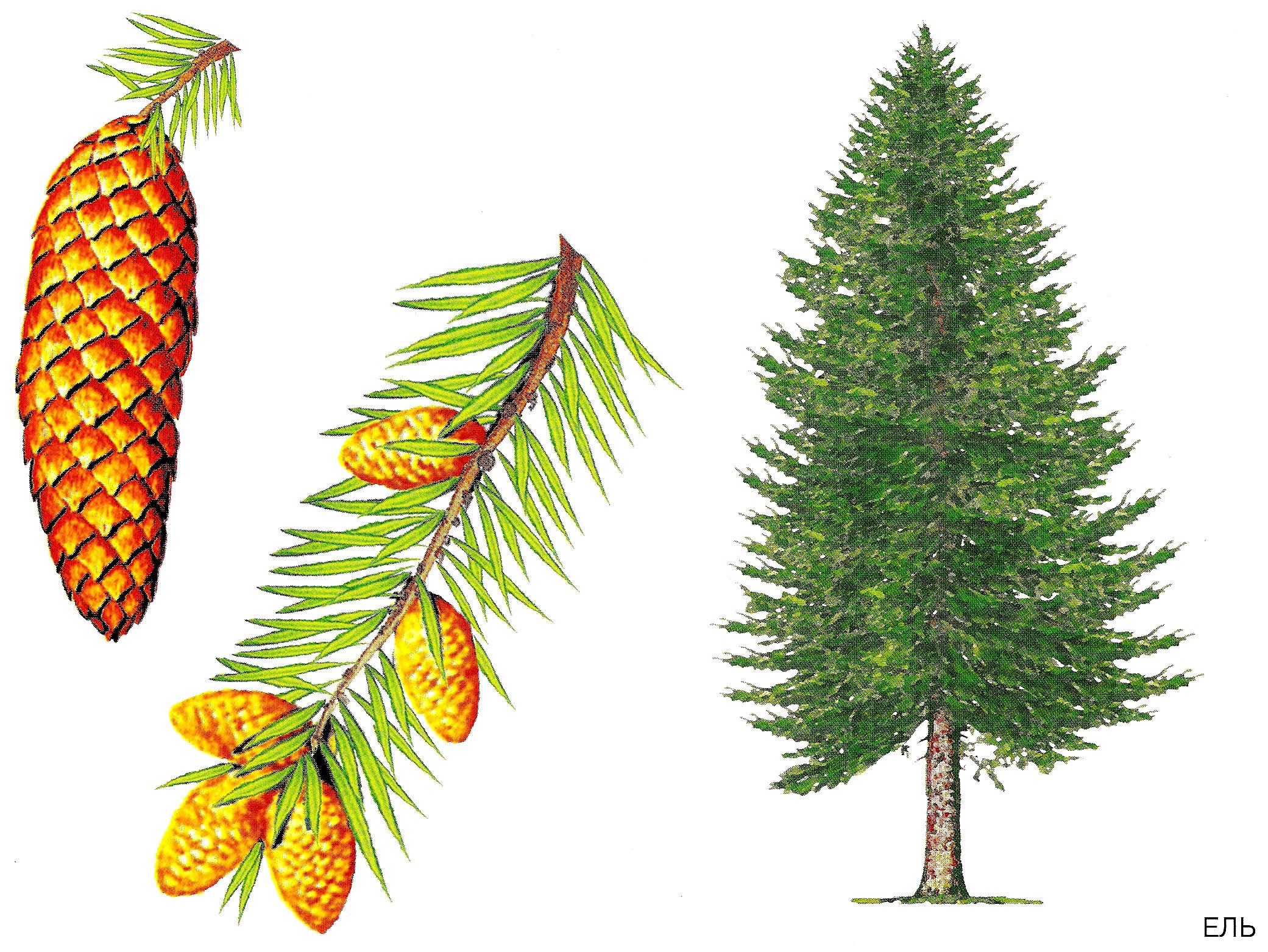 Картинки с хвойными деревьями для детей